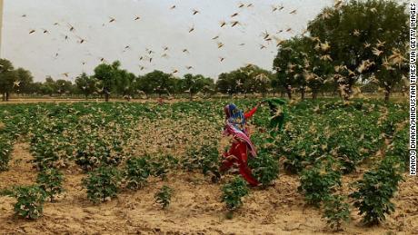 Nueva Delhi está lista después de que la langosta del desierto pulula con la vecina Gurgaon