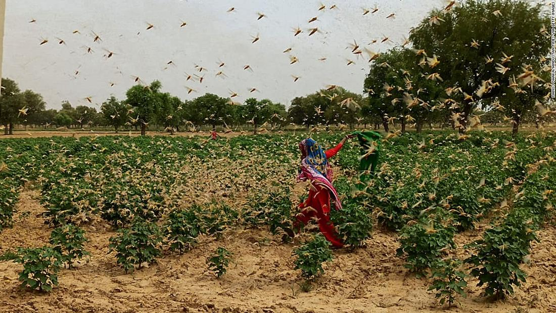 Langostas en India: alerta de Nueva Delhi después de que la langosta del desierto invada la vecina Gurgaon